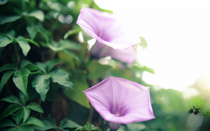 coast morning glory ipomoea cairica-2012 beautiful Flowers wallpaper Views:3651