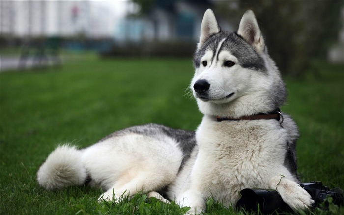 cute husky-Animal Wizard photography wallpaper Views:30752