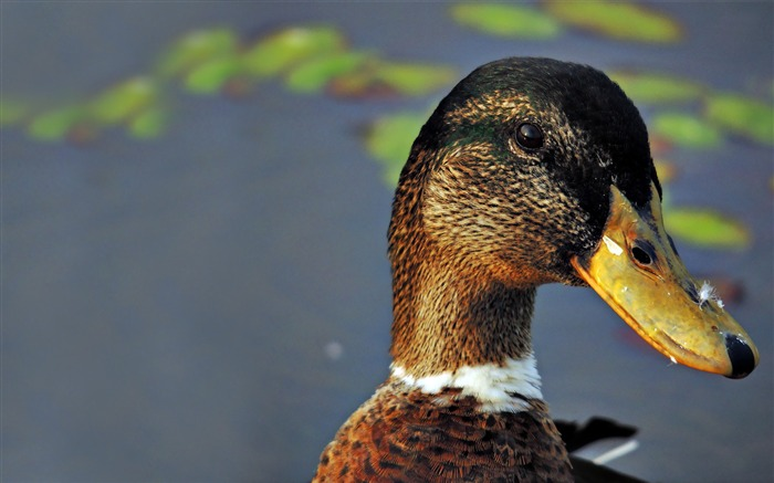 duck-Animal Wizard photography wallpaper Views:3847