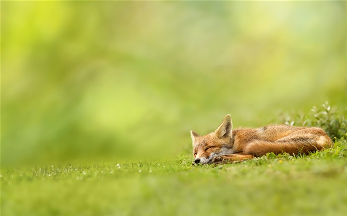 fox-Animal Wizard photography wallpaper Views:5260