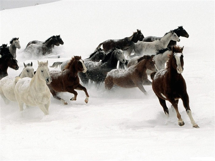 horses in the snow-Animal Widescreen Wallpaper Views:4758