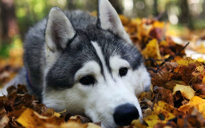 husky-Animal Wizard photography wallpaper Views:6274