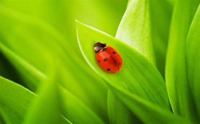 ladybug sleeping on a green leaf-2012 Macro Photography Featured Wallpaper Views:5617