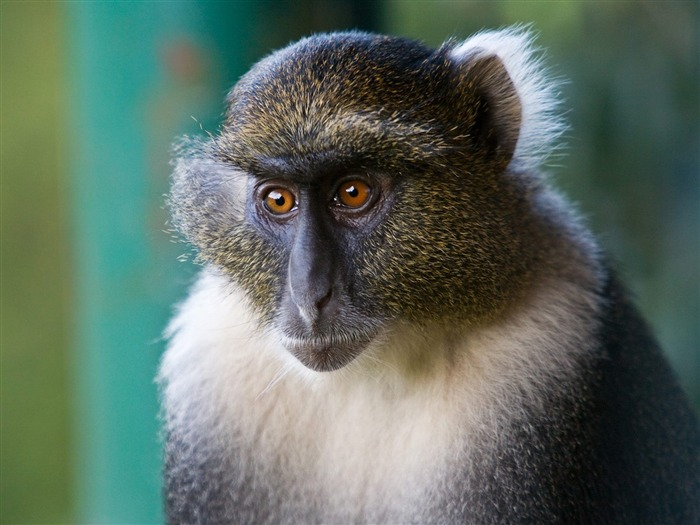 monkey deep in thoughts-Animal Widescreen Wallpaper Views:3294