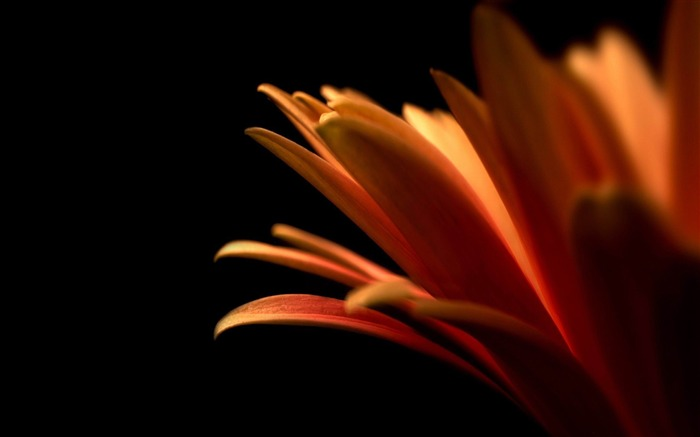 orange petals-2012 beautiful Flowers wallpaper Views:3482