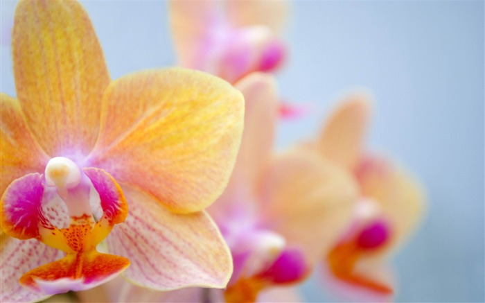 orchid flowers-2012 beautiful Flowers wallpaper Views:5204