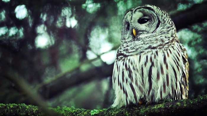 owl-Animal Wizard photography wallpaper Views:5411