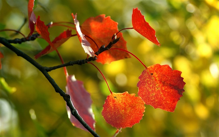 red autumn leaves-2012 Macro Photography Featured Wallpaper Views:5031