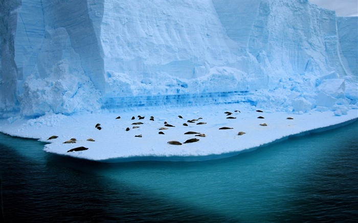 seals on ice-Animal Widescreen Wallpaper Views:3561