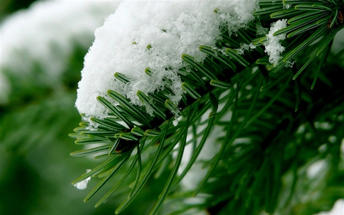 snow and pine-beautiful winter landscape wallpaper Views:4572
