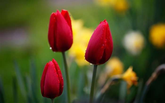 three red tulips-2012 beautiful Flowers wallpaper Views:6464