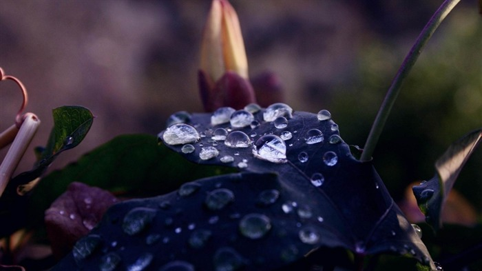 water drops on a blue leaf-2012 Macro Photography Featured Wallpaper Views:3103