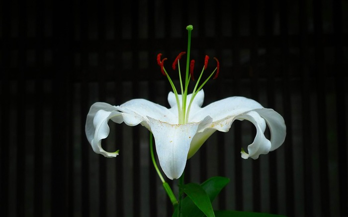 white lily-2012 beautiful Flowers wallpaper Views:3643