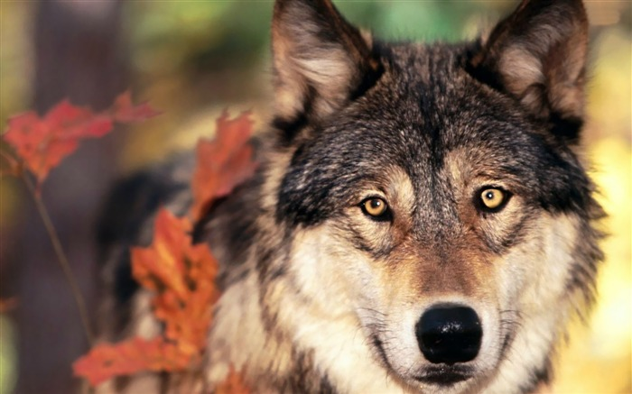 wolf-Animal Wizard photography wallpaper Views:2928