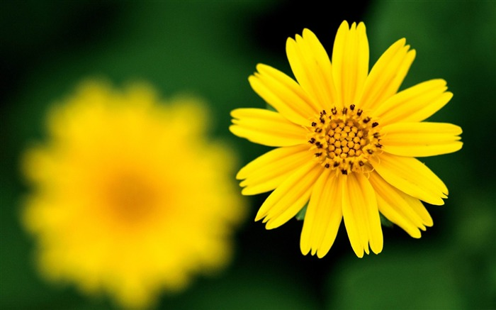 yellow flower-2012 beautiful Flowers wallpaper Views:3398