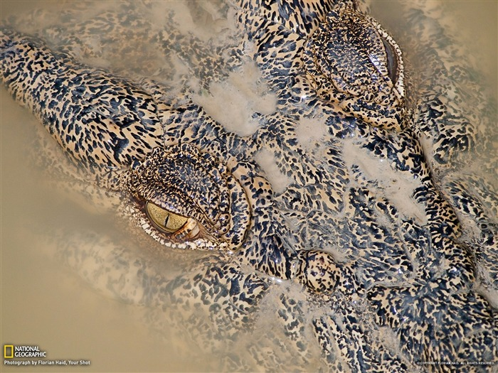 Crocodile Australia-National Geographic Best Wallpapers of 2012 Views:8593