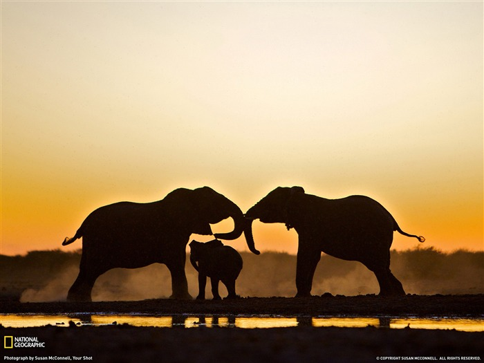 Elephant Trio Namibia-National Geographic Best Wallpapers of 2012 Views:5478