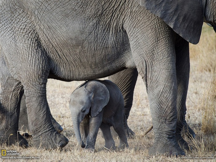 Elephants Serengeti-National Geographic Best Wallpapers of 2012 Views:4325