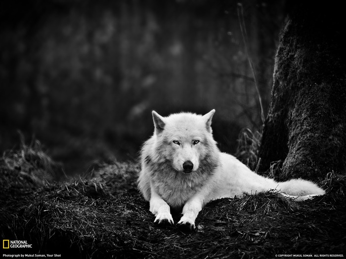 Gray Wolf Washington-National Geographic Best Wallpapers of 2012 Views:19687