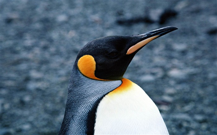 Happy Antarctic penguins HD Desktop Wallpapers Views:11142