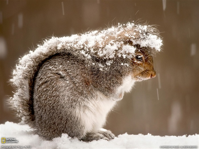 Squirrel in Snow-National Geographic Best Wallpapers of 2012 Views:4659