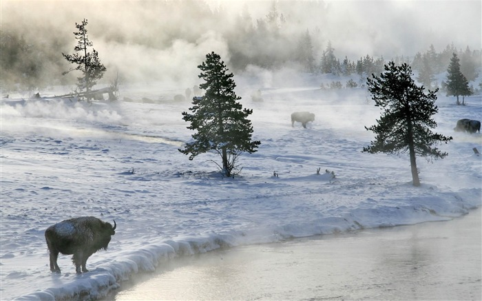 bison in winter-winter natural landscape wallpaper Views:4850