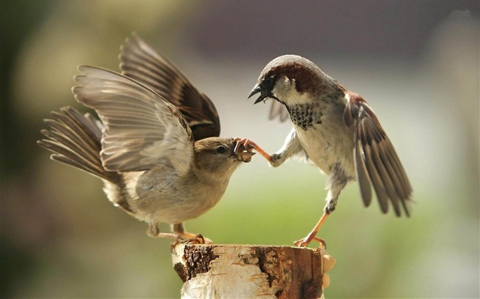 fighting sparrows-Cute animals wallpaper Views:11882