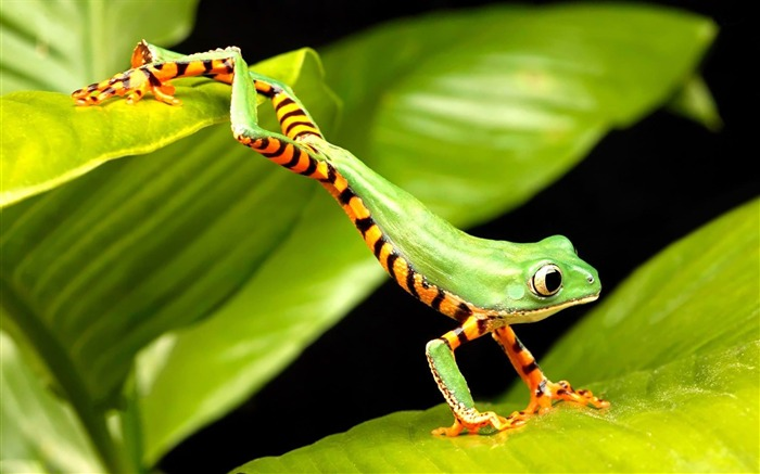 tiger striped monkey tree frog-Cute animals wallpaper Views:7557