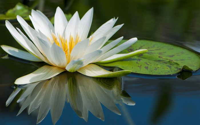 water lily-Beautiful flowers HD wallpaper Views:4259