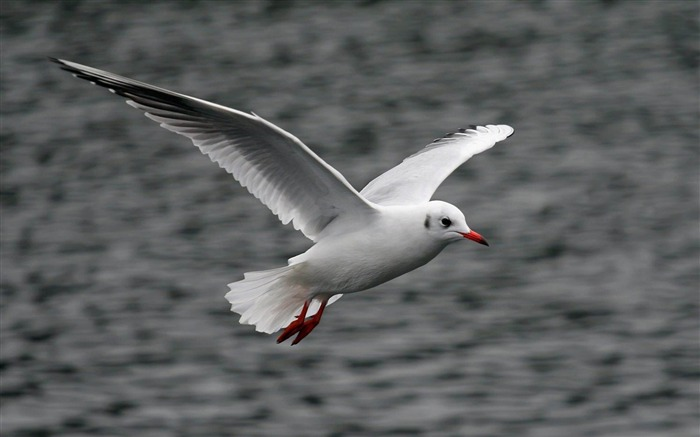 white flying seagull-Cute animals wallpaper Views:4285
