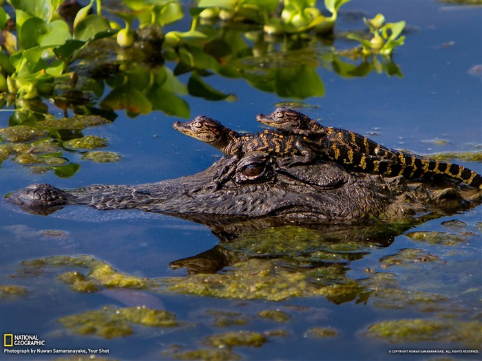 Alligators Texas-National Geographic photography wallpaper Views:9726 Date:2/3/2013 10:06:43 PM