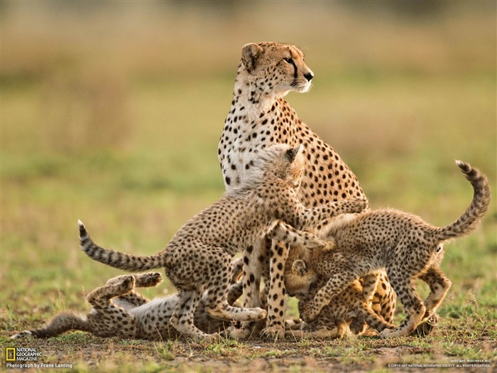 Cheetah Mother and Cubs Tanzania-National Geographic photography wallpaper Views:9334 Date:2/3/2013 10:09:21 PM