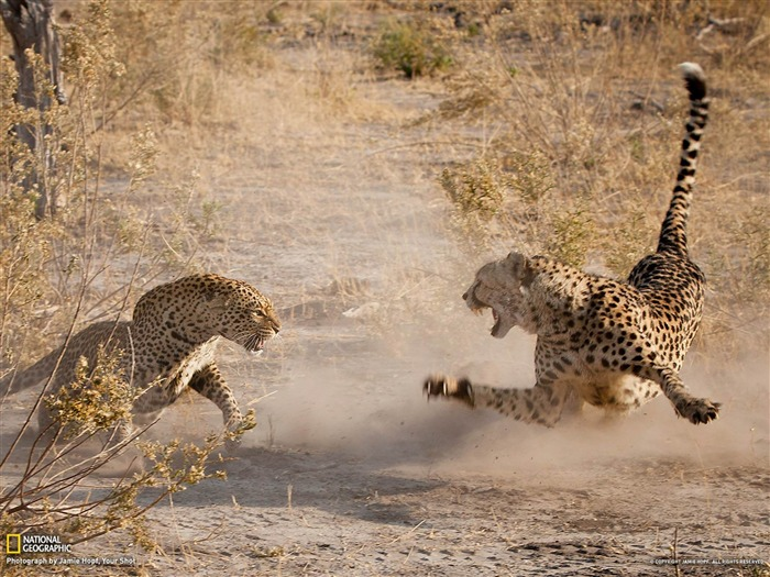 Cheetah and Leopard Botswana-National Geographic photography wallpaper Views:14481 Date:2/3/2013 10:08:28 PM