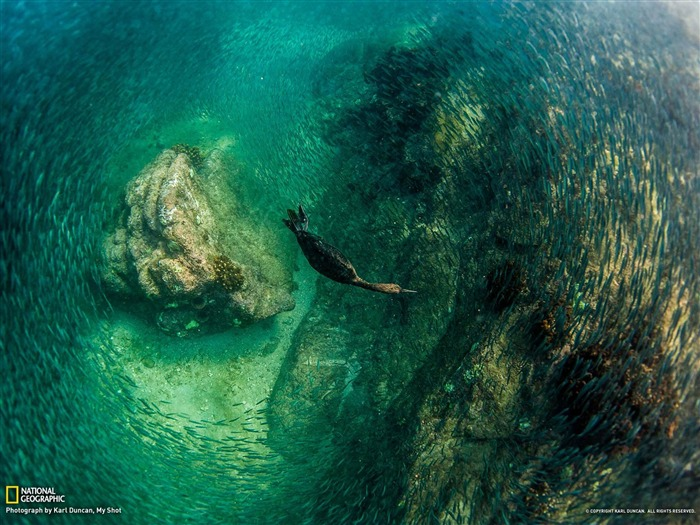 Diving Bird Mexico-National Geographic photography wallpaper Views:9898 Date:2/3/2013 10:10:03 PM