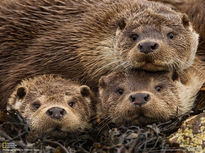 Eurasian Otters Shetland Islands-National Geographic photography wallpaper Views:11535 Date:2/3/2013 10:10:50 PM