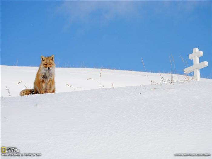 Fox Aleutian Islands-National Geographic photography wallpaper Views:7860 Date:2/3/2013 10:11:43 PM