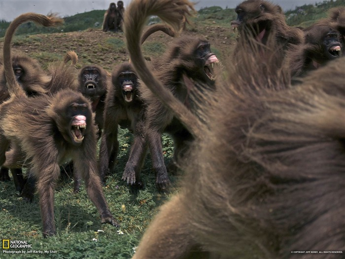 Geladas Ethiopia-National Geographic photography wallpaper Views:5536 Date:2/3/2013 10:12:24 PM