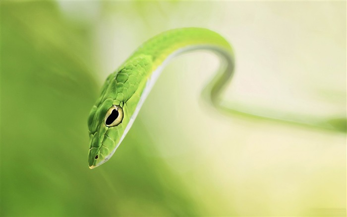 Title:Green Snake-Animal world photography wallpaper Views:5612