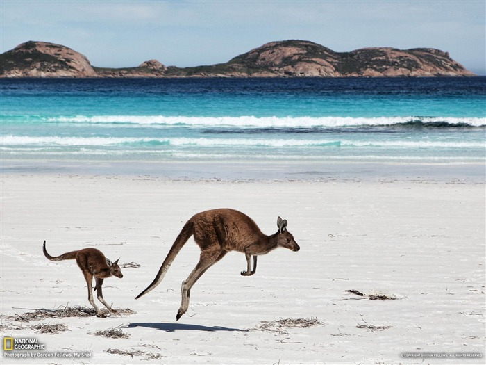 Kangaroos Australia-National Geographic photography wallpaper Views:9127 Date:2/3/2013 10:15:02 PM