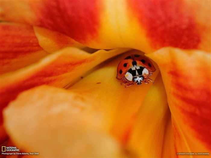 Ladybug and Daylily-National Geographic photography wallpaper Views:6021 Date:2/3/2013 10:05:48 PM