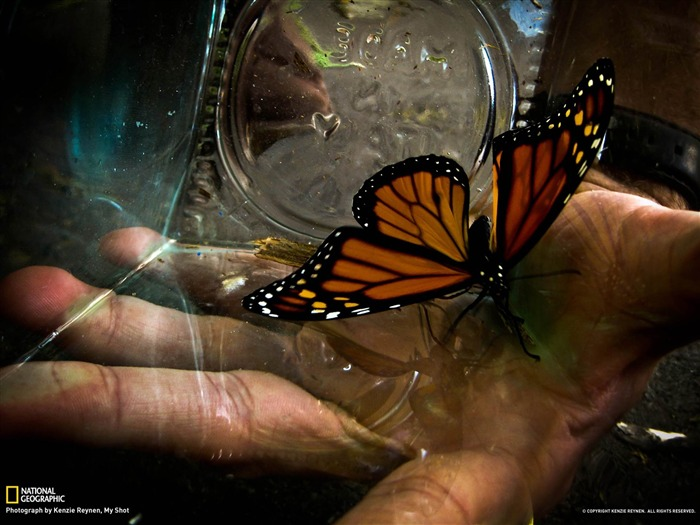 Monarch Butterfly-National Geographic photography wallpaper Views:5697 Date:2/3/2013 10:16:06 PM