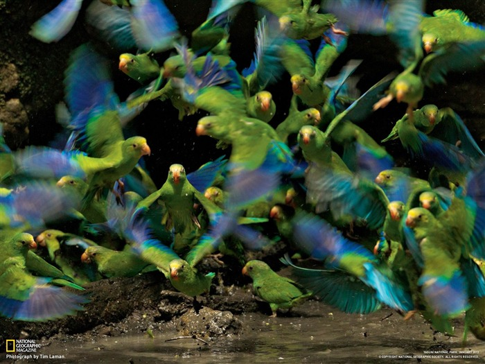 Parakeets Ecuador-National Geographic photography wallpaper Views:7776 Date:2/3/2013 10:18:12 PM