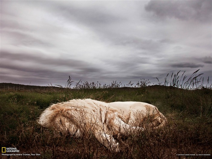 Sleeping Lion South Africa-National Geographic photography wallpaper Views:6964 Date:2/3/2013 10:19:50 PM