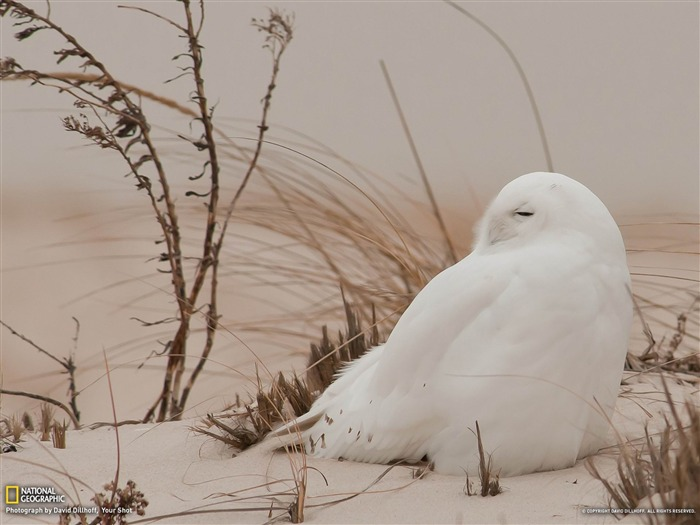 Snowy Owl Long Island-National Geographic photography wallpaper Views:7609 Date:2/3/2013 10:20:34 PM