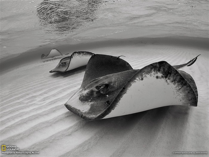 Stingrays Grand Cayman-National Geographic photography wallpaper Views:4713 Date:2/3/2013 10:21:15 PM