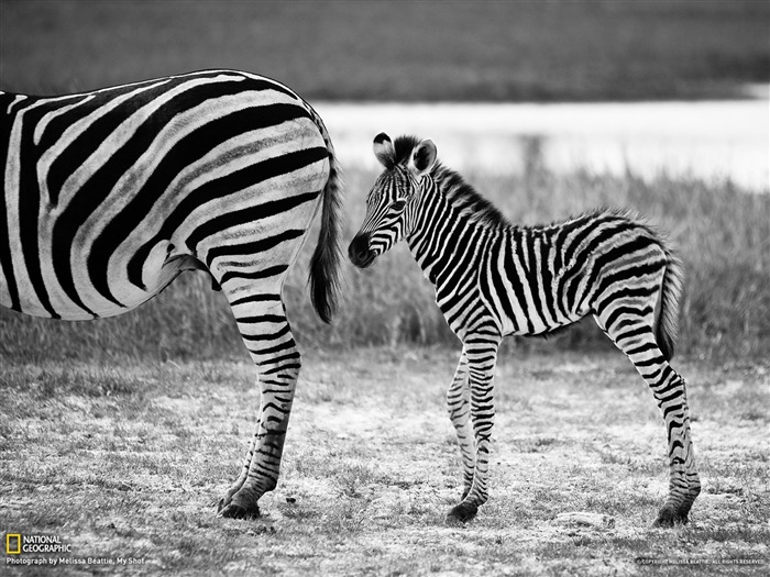 Zebra and Foal Botswana-National Geographic photography wallpapers Views:5333 Date:2/3/2013 10:22:49 PM