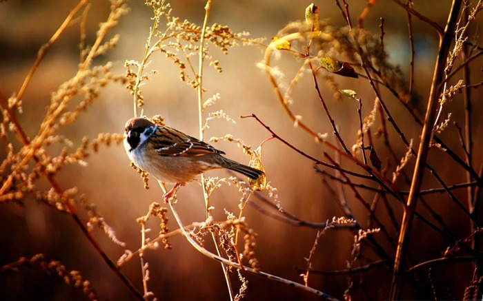 Sparrow-Animal World HD wallpaper Views:3111