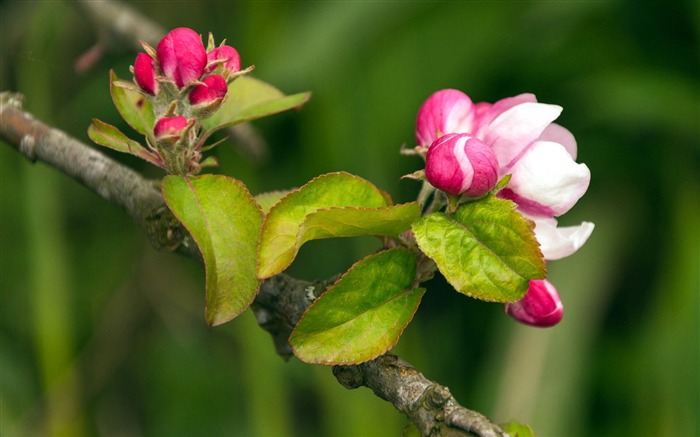 Spring buds macro photography HD wallpaper Views:6433