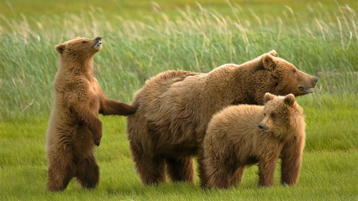 bears grass family-Animal HD wallpaper Views:3679
