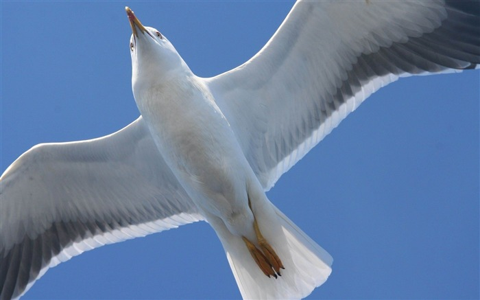 bird seagull flap wings-Animal HD wallpaper Views:4688